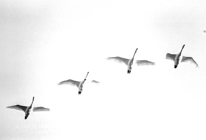 swan-image2