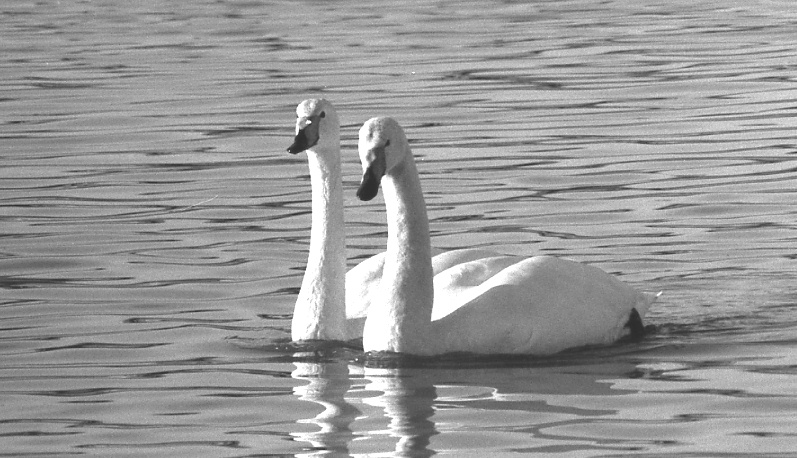 swan-image1
