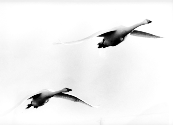 swan-image3