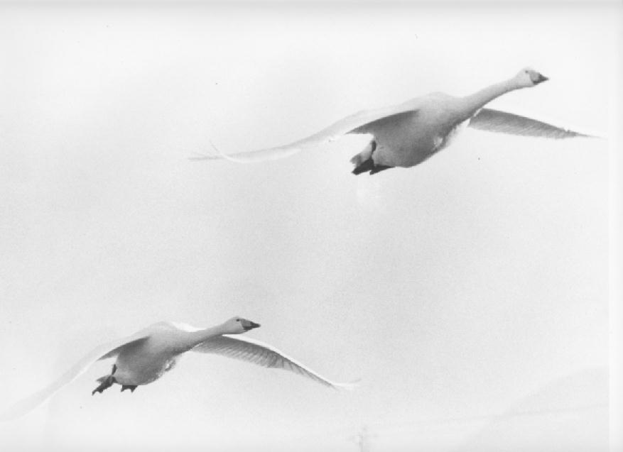 swan-image10
