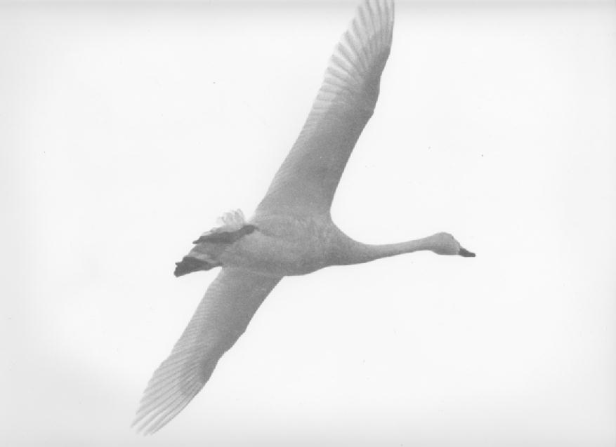 swan-image4